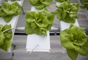 Lettuce grows out of plastic trays where a steady flow of water and nutrients sustains the plants. Two Sisters Farm's hydroponic greenhouse system is used to grow several varieties of lettuce the farm sells to a number of area restaurants and grocers.
