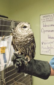 Josie, a barred owl missing a left eye, has been with OWL as an animal used in educational programming since 1994.
