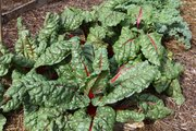 Chard growing in the garden of Cheryl Hanback and Richard Brown.