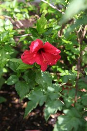 Hibiscus growing in a pot at Cheryl Hanback's Little Gray House along U.S. Highway 24-40.