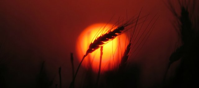 Jamie Oberg's winning photo of a grain of wheat in Ottowa, Kan.