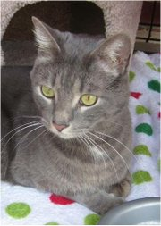 Reggie, a silver cat up for adoption at the Leavenworth County Humane Society.