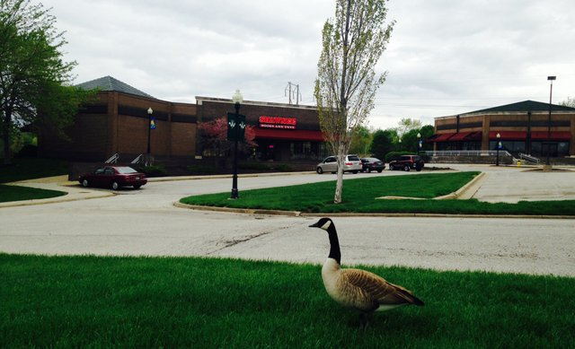 A Canada goose enjoys the empty parking lot at Westbrooke Village Shopping Center.
