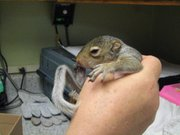 Diane Johnson holds a baby squirrel taken to Operation Wildlife after it was found abandoned from its nest.