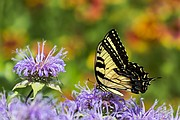 Wayne Rhodus photographed this Eastern Tiger Swallowtail butterfly in his rural Basehor backyard.