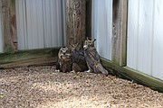 These owls were raised from chicks at Operation WildLife and are now learning to hunt before being released to the wild.