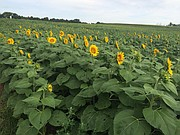 Sunflowers are starting to pop in the Grinter Farms 40-acre sunflower field. Huge crowds are expected to visit the fields this weekend.