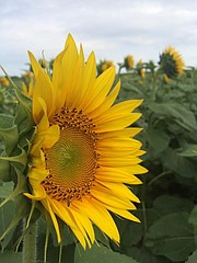 Some sunflowers are coming along well at Grinter Farms, such as this one blooming in the family's 40-acre sunflower field between Tonganoxie and Lawrence.