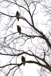 Three eagles roost on a tree north of Engineered Air in De Soto. Bald eagles get their distinctive white heads and tail feathers at from 2-1/2 to 3 years of age.