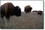 These buffalo will be cared for during the winter, according to an agreement that their owners have signed and provided to the Leavenworth County attorney's office. The animals roam on Stranger Creek Ranch, which is two miles east of Tonganoxie.