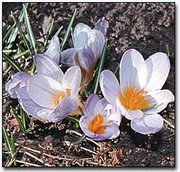 These crocus poked through the February soil last week, signaling that spring should begin soon.