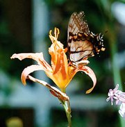 A butterfly stops to sip nectar from a daylily in the garden at the rural home of John and Sharon Zoellner.