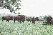 A buffalo herd rambles through the fenced yard at Calvin McDaniel's home north of Tonganoxie.