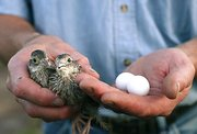 Mike Oelschlaeger holds two young northern bobwhite quail in his right hand and two quail eggs in his left hand. Oelschlaeger, a farmer in southern Leavenworth County who also has a job in the city, raises quail to supplement his family's income.
