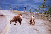 These goats, standing in an Alaskan highway, appear to be oblivious to oncoming vehicles. Shellie Hardisty took this photo in June, on the first leg of what she plans to be a year-long trip.