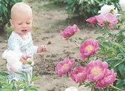 Wes Bontrager checks out a bud on a light-pink peony. These plants, like Leimkuhler's other peonies, have been cultivated to achieve various colors and fullness of blooms.