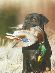 Hank, a black Labrador retriever, holds a mallard duck shot on a hunting trip.