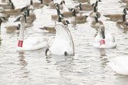 A swan tips as far as it can to get to food near the shore of Bear Lake.