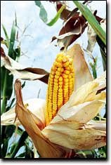 The Leavenworth County corn crop looks better than average this year, according to an area farmer.